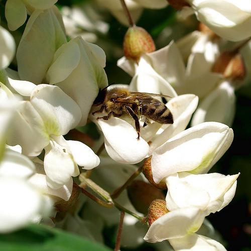 pszczoła na akacji