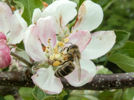 pszczoła zapylająca kwiat