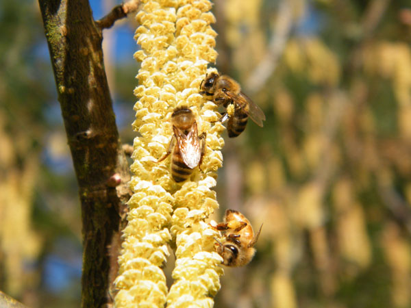 Leszczyna jako dobry pożytek pszczeli