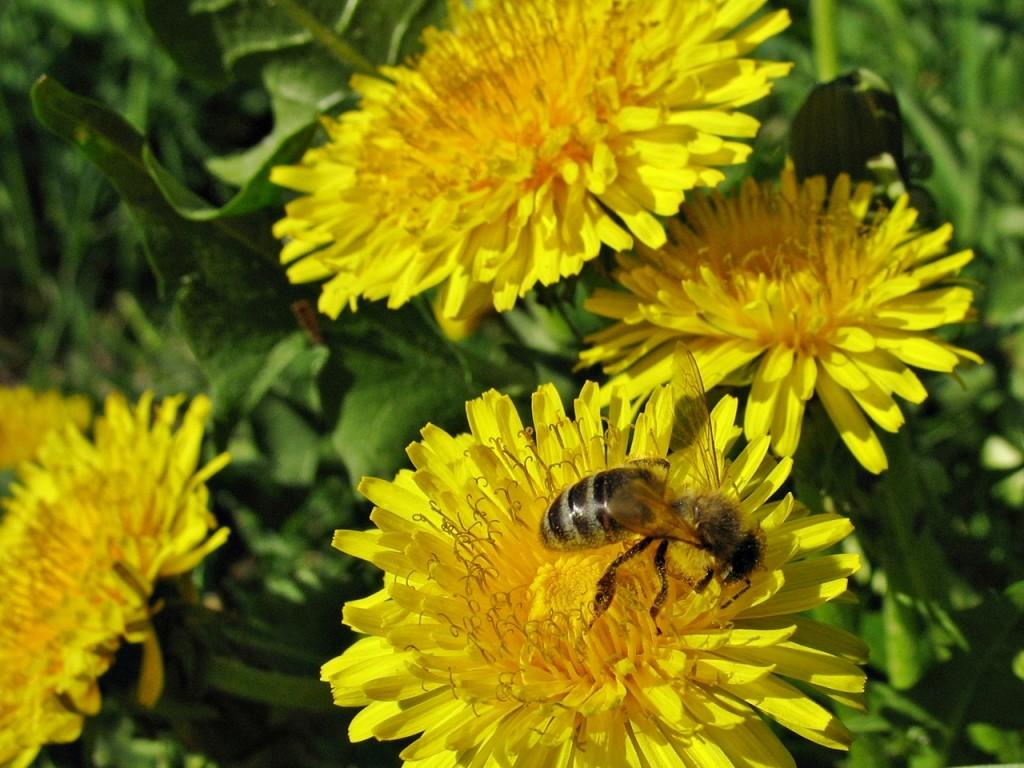 Mniszek lekarski pożytkiem dla pszczółek