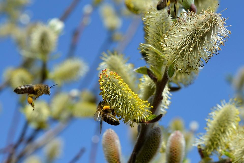pszczoły zbierające pył z wierzby