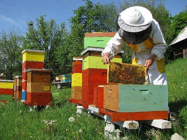 Pszczelarz przy ulach