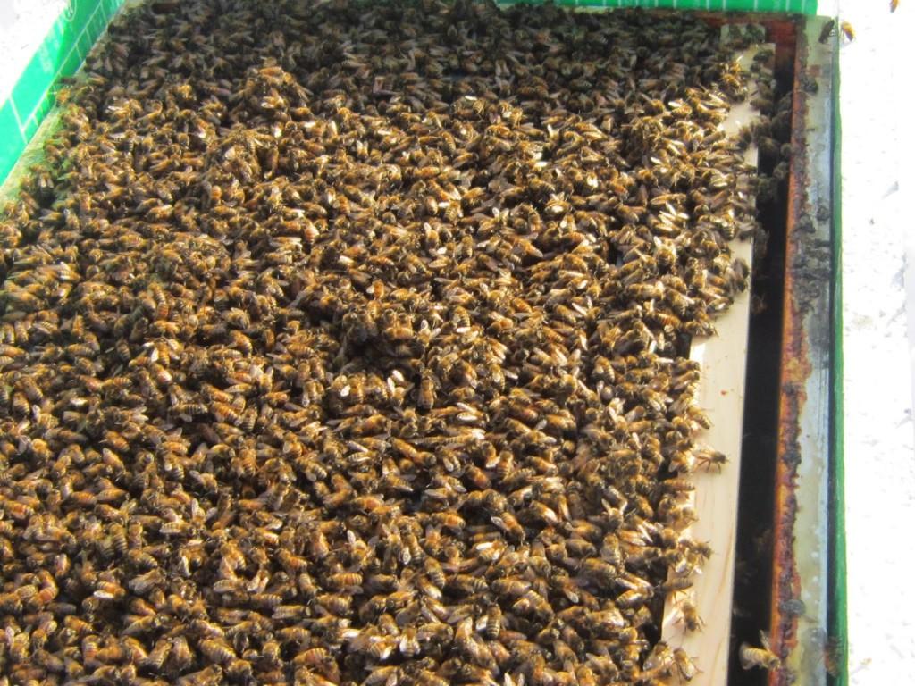 Ul z pszczołami