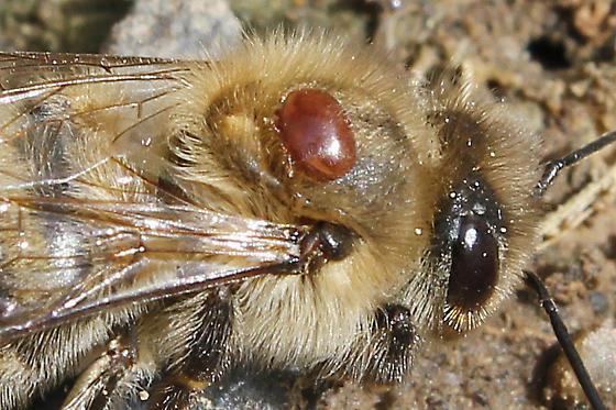 Warroza na pszczole